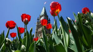 Peace Tower Parliament Hill Tulips