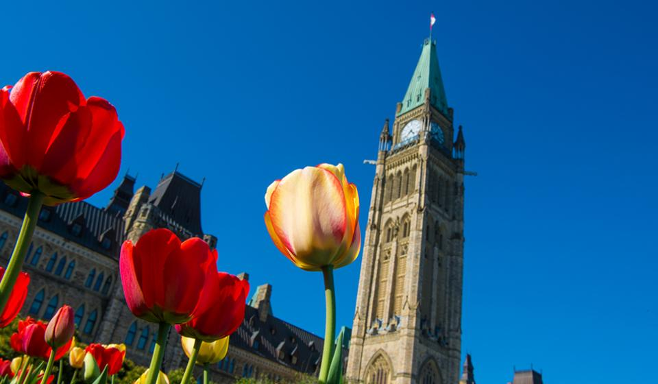Tulips by the Peace Tower on Parliament Hill